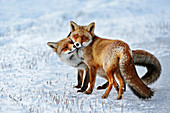 Red Fox ( Vulpes vulpes ), Red Foxes in love, caressing, tenderness, cute emotional behaviour, pair of foxes in winter, snow, wildlife, Europe.