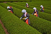 Japan, Honshu, Shizuoka, tea harvest at the feet of Mount Fuji