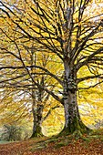 Beech tree in autumn in a beechwood. Urbasa-Andia Natural Park. Navarre, Spain, Europe