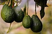Avocados wachsen auf einem Baum auf einem Bauernhof in der Nähe von Sonsón, Departement Antioquia, Kolumbien