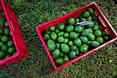 Crates of avocados are seen placed on the ground during a harvest at a plantation near Sonsón, Antioquia department, Colombia