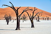 Namibia, Africa. Deadvlei. Namib Naukluft National Park