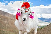 Embellished mountain goat in Tibet, China