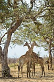 Two Giraffe (Giraffa camelopardalis) standing under acaciatree, Kruger National Park, South Africa.