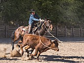 An American cowboy roping a longhorn steer with a lariat or lasso on a ranch near Moab, Utah.