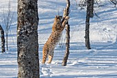 A Eurasian lynx (Lynx lynx) is in the snow is climbing a tree at a wildlife park in northern Norway.