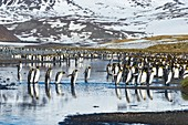 Group of King Penguins (Aptenodytes patagonicus) crossing a stream, Salisbury Plain, South Georgia, Antarctic