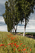 Poppies and birches on the edge of the field, Sachsenhausen, Waldeck, Waldeck-Frankenberg, Hesse, Germany, Europe