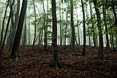 Beeches in the fog at Daudenberg, Kellerwald-Edersee National Park, Hesse, Germany, Europe