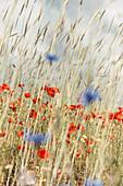 Poppies, cornflowers and chamomile in the rye field, Bringhausen, Edertal, Waldeck-Frankenberg, Hesse, Germany, Europe