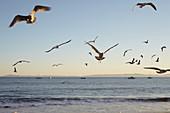 Seagulls in the evening light on Santa Barbara Beach, California, USA.