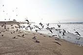 Möwen am Strand des Hearst San Simeon State Parks\nam frühen Morgen, Kalifornien, USA.