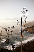 Dry autumn plants in the evening light at Big Sur on Highway 1, California, USA.