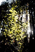 Leaves in backlight, Pfeiffer Big Sur State Park, California, USA.