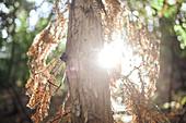 Trockener Nadelbaum im Gegenlicht, Big Sur State Park, Kalifornien, USA.