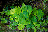 Clover with water droplets in the Wimbachklamm, Berchtesgadener Land, Bavaria, Germany