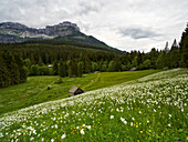 Narcissus meadow at the Blaa-Alm, Styria, Austria.