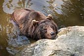 Braunbär (Ursus arctos) im Tier-Freigelände im Nationalparkzentrum Lusen, Nationalpark Bayerischer Wald, Niederbayern, Bayern, Deutschland, Europa