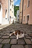 Eine Katze auf Kopfsteinpflaster in der Altstadt von Passau, Niederbayern, Bayern, Deutschland, Europa