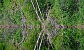 Bäume spiegeln sich in der Oberfläche eines Sees, Junsele, Norrbottens Län, Schweden