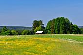 Blumenwiese und Bäume mit rotem Schwedenhaus, bei Halaforsen, Västernorrland, Schweden