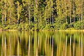 The sunlit forest bank is reflected in a lake, Smålandsstenar, Jänköpings Län, Sweden