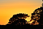 Silhouette of pine trees against the glowing evening sky at sunset, Hornborgasjön, Sweden