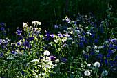 A flower meadow in the interplay of light and shadow near Hornborgasjön, Sweden