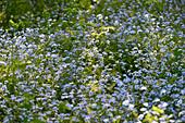 Eine Blumenwiese im Wald bei Timmersdala, Västergötland, Schweden
