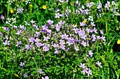 Colorful flowers in a meadow in Lapland, near Haparanda, Norrbottens Län, Sweden