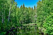 Eine Birke wächst quer über einen kleinen Fluss, bei Morjärv, Norrbottens Län, Schweden