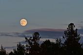 The rising moon over the treetops in Särna, Dalarna Province, Sweden