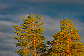 Two pine trees glow in the intense evening light in Lycksele, Västerbottens Län, Sweden