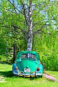 A large birch tree grows in an old VW Beetle near Sirapsbacken, Västerbottens Län, Sweden