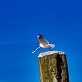 Wor de seagulls yelling gell int Stormgebrus, oystercatcher in Dorum, Lower Saxony, Germany