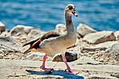 Egyptian goose on the Rhine, Mondorf, NRW, Germany