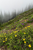 Shrubby Cinquefoil, Dasiphora fruiticosa or Potentilla fruiticosa, flowering in an alpine meadow on Mount Townsend in the Buckhorn Wilderness, Olympic National Forest, Washington State, USA