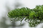 Tanne (Abies spp.), mit kondensierten Wassertropfen aus Wolken und Nebel auf dem Weg zum Mount Townsend in der Buckhorn Wilderness, Olympic National Forest, Bundesstaat Washington, USA