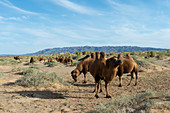 Bactrian camels grazing amongst Saxaul trees (Haloxylon ammodendron) (sometimes called sacsaoul or saksaul) at the Hongoryn Els sand dunes in the Gobi Desert in southern Mongolia.