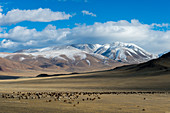 A herd of sheep grazing in a valley of the Altai Mountains near the city of Ulgii (Ölgii) in the Bayan-Ulgii Province in western Mongolia.