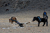 The Kokpar (goat dragging) competition is a traditional horseback riding game were the riders fight over a goat or sheep carcass, part of the Golden Eagle Festival near the city of Ulgii (Ölgii) in the Bayan-Ulgii Province in western Mongolia.