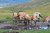 A group of Przewalski?s horses (Takhi), an endangered species, is drinking water in Hustain Nuruu National Park, Mongolia.