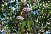 Orchids planted on trees at the Pet Cemetery cenote which is part of the Cenotes Sac Aktun system, near Tulum along the east coast of the Yucatan Peninsula on the Caribbean Sea in the state of Quintana Roo, Mexico.