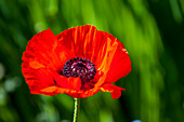 Close-up of an Oriental poppy in a garden in Bellevue, Washington State, USA.