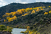 Trees in fall colors at the Rio Grande Gorge between Taos and Santa Fe in New Mexico, USA.