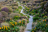A boardwalk for visitors protects the flora such as yellow Bulbinella rossii flowers, commonly known as the Ross lily (subantarctic megaherb), on Campbell Island, a sub-Antarctic Island in the Campbell Island group, New Zealand.