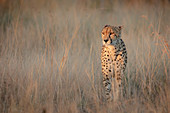 Cheetah, Acinonyx jubatus, walking through dry brown grass in fading light.
