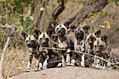 A pack of Wild Dog puppies, Lycaon pictus, on a termite mound, ears forward, looking at camera.