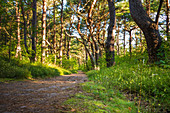 Idyllic hiking trail in the pine forest near Trassenheide on the Baltic Sea, Usedom, Mecklenburg-Western Pomerania, Germany