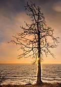 Kahler Baum mit Sonnenstern bei Sonnenaufgang am Ufer des Starnberger See, Tutzing, Bayern, Deutschland